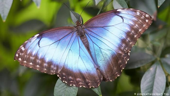 Бабочка морфо пелеида (Morpho peleides) - одна из той самой задержавшейся партии