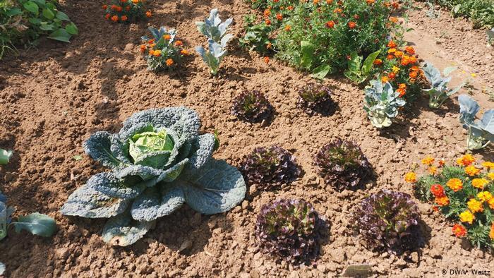 Сегодня на грядках растет капуста, салат и другие овощи.