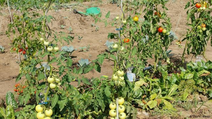 В начале августа созревают помидоры.