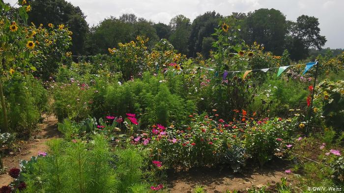 Многие выращивают на участках и цветы.