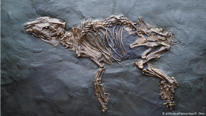 Окаменевший скелет примитивной лошади