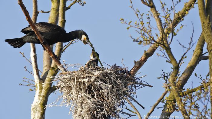 Гнездо бакланов