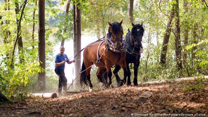 Лошади вывозят деревья из леса