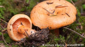Рыжики (Lactarius salmonicolor) – партнеры хвойных деревьев