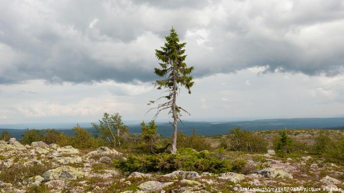 Древнейшее дерево мира растет в Швеции - ели, по прозвищу Старый Тикко, исполнился 9561 год